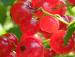 Proprietatile fructelor de afin rosu si plantarea arbustilor de merisor