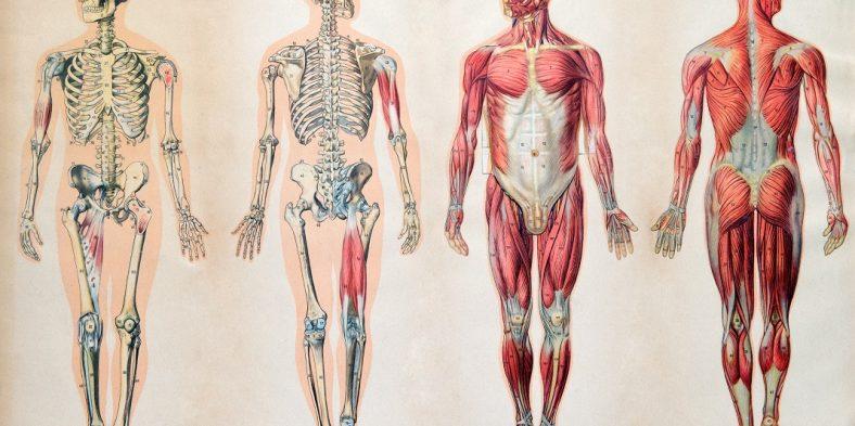 Trucuri si sfaturi pentru studierea anatomiei umane